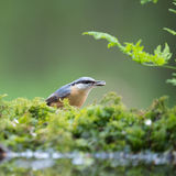 Eurasian nuthatch in tree Stock Photos