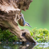 Eurasian nuthatch in tree Royalty Free Stock Photos