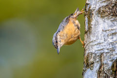 Eurasian Nuthatch on a tree Royalty Free Stock Photography