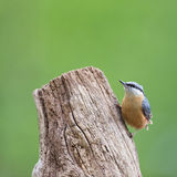 Eurasian nuthatch in tree Stock Photo