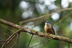 Eurasian nuthatch on the watch stock photo