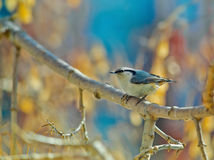Eurasian nuthatch, wood nuthatch. Sitta europaea, clinging upside down to a branch Royalty Free Stock Photography