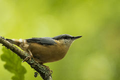 Eurasian nuthatch or wood nuthatch, Sitta europaea Royalty Free Stock Photography