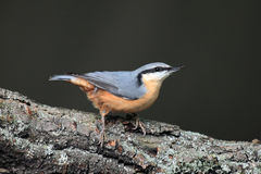 Eurasian nuthatch. The Eurasian nuthatch or wood nuthatch Sitta europaea on the branch with dark background stock photo