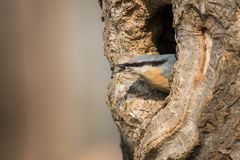 The Eurasian nuthatch Stock Photography