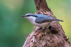 Eurasian nuthatch Royalty Free Stock Image