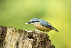 Eurasian nuthatch (Sitta europea) on the tree trunk Royalty Free Stock Image