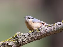 The Eurasian nuthatches sits on a forest trough and are ready to fight for food. Royalty Free Stock Photos