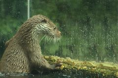 Eurasian otter in aquarium. The Eurasian otter Lutra lutra, also known as the European otter, Eurasian river otter, common otter, and Old World otter, is a stock photography