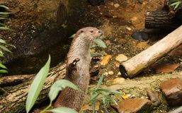 Eurasian otter in aquarium. The Eurasian otter Lutra lutra, also known as the European otter, Eurasian river otter, common otter, and Old World otter, is a stock images