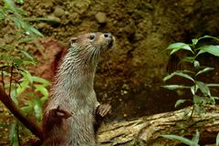 Eurasian otter in aquarium. The Eurasian otter Lutra lutra, also known as the European otter, Eurasian river otter, common otter, and Old World otter, is a royalty free stock photography