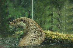 Eurasian otter in aquarium. The Eurasian otter Lutra lutra, also known as the European otter, Eurasian river otter, common otter, and Old World otter, is a stock photo