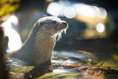 Eurasian otter Royalty Free Stock Photo