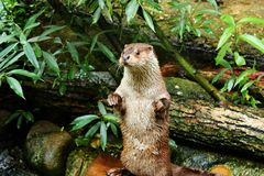 Eurasian otter in aquarium. The Eurasian otter Lutra lutra, also known as the European otter, Eurasian river otter, common otter, and Old World otter, is a royalty free stock images