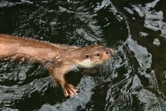 Eurasian otter in water. The Eurasian otter Lutra lutra, also known as the European otter, Eurasian river otter, common otter, and Old World otter, is a stock photo