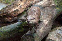 Eurasian otter lutra. Full body of eurasian otter Lutra lutra. Photography of wildlife stock photo