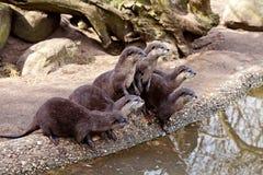Eurasian otter Lutra lutra, also known as the European otter, Eurasian river otter. stock photo