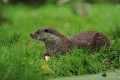The Eurasian otter Lutra lutra stock photos