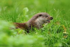 The Eurasian otter Lutra lutra. Also known as the European, Eurasian river , common otter, and Old World , mammal native to Eurasia. Lutrinae of the weasel royalty free stock image