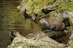The Eurasian otter Lutra lutra royalty free stock images