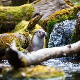 Eurasian otter (Lutra lutra) Stock Photography