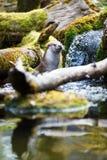 Eurasian otter (Lutra lutra) Stock Photos