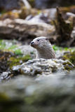 Eurasian otter (Lutra lutra) Stock Photo