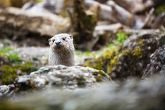 Eurasian otter (Lutra lutra) Royalty Free Stock Image