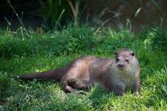 Eurasian Otter Lutra lutra. Enjoying the Sunshine royalty free stock photography
