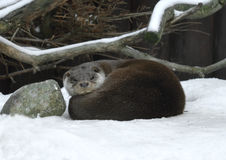 Eurasian otter Lutra lutra sleeping Stock Image