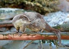Eurasian otter Lutra lutra in spring Stock Photo