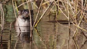 Eurasian otter, Lutra lutra, swimming on river lossie, winter, moray, scotland, march. Eurasian otter, Lutra lutra, swimming and diving on river lossie during stock video footage