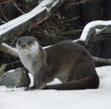 Eurasian otter Lutra lutra Royalty Free Stock Photos