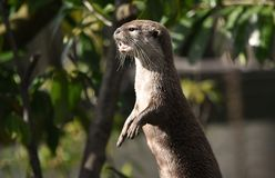 Eurasian Otter Standing on its Hind Legs royalty free stock photography