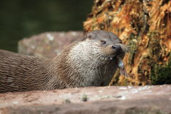Eurasian otter Stock Photos