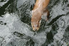 Eurasian otter in water. The Eurasian otter Lutra lutra, also known as the European otter, Eurasian river otter, common otter, and Old World otter, is a royalty free stock photos