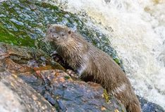 Eurasian otter by the water fall stock photo