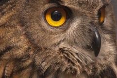 Eurasian owl Bubo bubo eagle owl,. Portrait of head and eyes stock photography