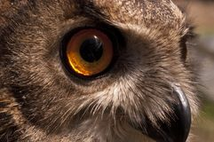 Eurasian owl Bubo bubo, portrait of head and eyes. Eurasian owl Bubo bubo eagle owl, portrait of head and eyes stock images