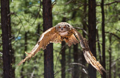 Eurasian owl. In flight during a raptor show royalty free stock images