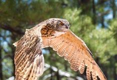 Eurasian owl. In flight at raptor show stock photo