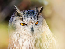 Eurasian owl looking trough the woods.  royalty free stock image