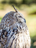 Eurasian owl watching for prey in the woods hunting.  royalty free stock photography