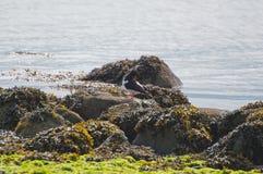 Eurasian Oyster Catcher Royalty Free Stock Photos