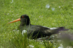 Eurasian Oystercatcher Stock Images