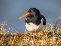 Eurasian oystercatcher also known as the common pied oystercatch Stock Photography