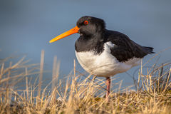 Eurasian oystercatcher or common pied oystercatcher Stock Photo