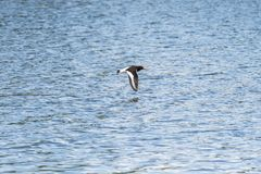 Eurasian oystercatcher flying above the sea stock image