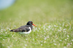 Eurasian oystercatcher Royalty Free Stock Images