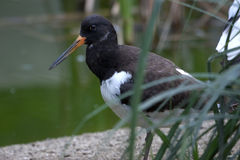Eurasian Oystercatcher (Haematopus ostralegus). The Eurasian Oystercatcher Haematopus ostralegus, also known as the Common Pied Oystercatcher Stock Photos